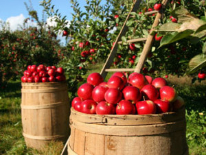 apple-barrels